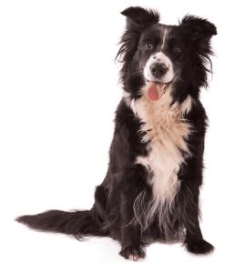 בורדר קולי הכלב הכי חכם