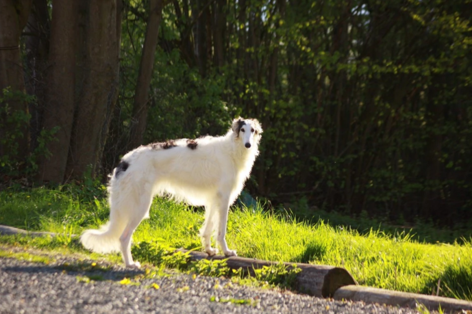 כלב רוח - בורזוי