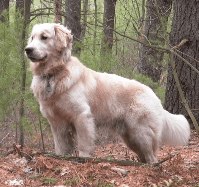 גולדן רטריבר - הכלבים הכי חכמים