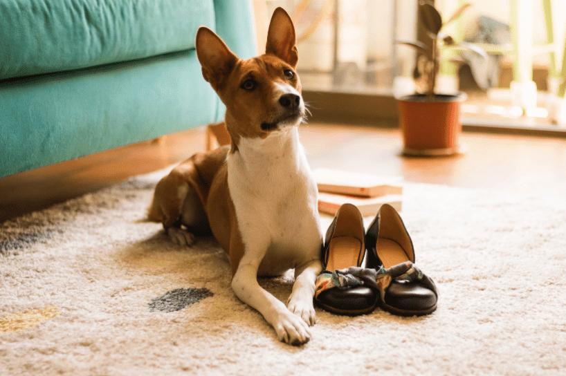 בסנג'י | הכלב הכי טיפש - 10 הכלבים הטיפשים ביותר DOGFIT SHAPE