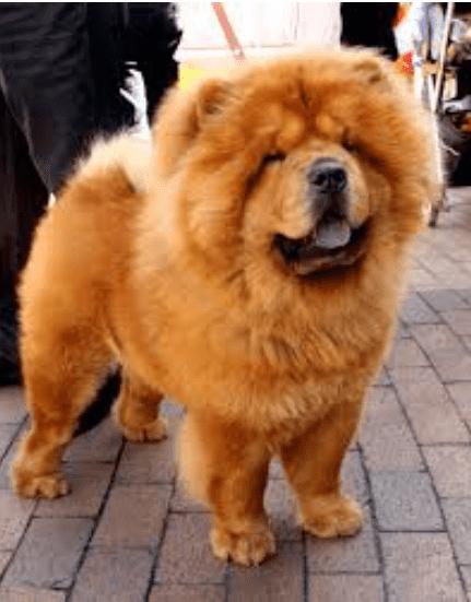צאו צאו   הכלב הכי טיפש - 10 הכלבים הטיפשים ביותר DOGFIT SHAPE