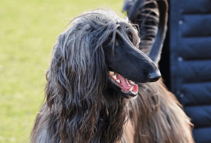 כלב רוח אפגני