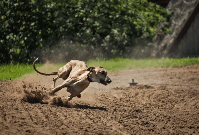 כלב רוח