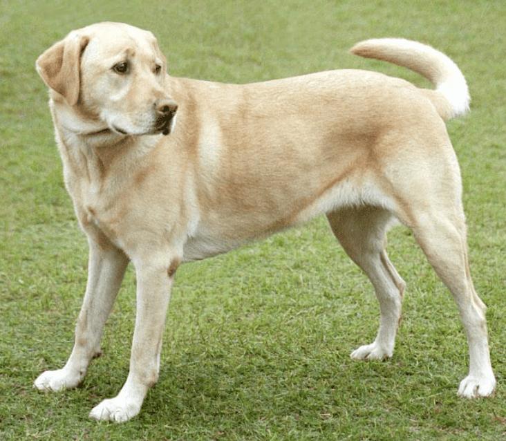 לברדור - 10 הכלבים הכי חכמים
