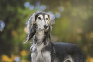 סלוקי כלב רוח