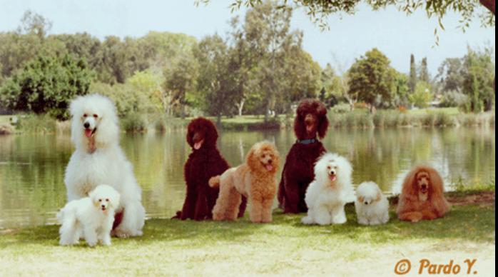 הכלב השני הכי חכם - פודל