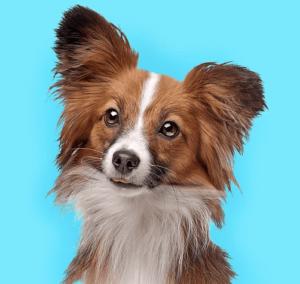 פפיליון - רשימת 10 הכלבים הכי חכמים