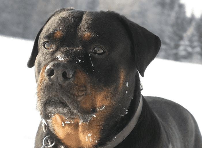 עשרת הכלבים הכי חכמים - רוטווילר