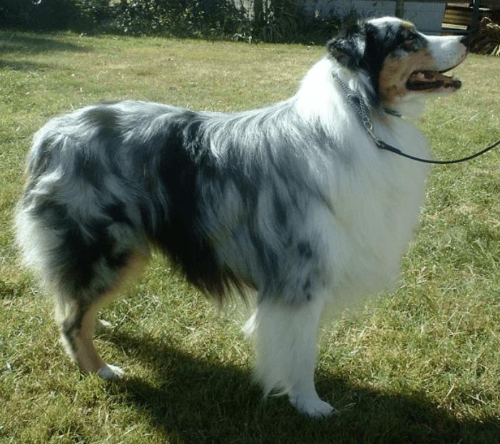 רשמית הכלבים הכי חכמים - רועה אוסטרלי