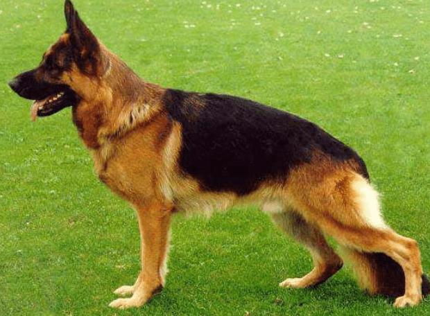 רועה גרמני - דוגפיט שייפ